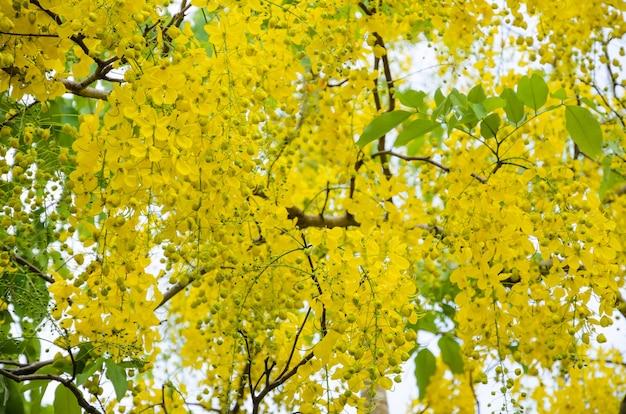 Golden shower, purging cassia, indian laburnum of cassia fistula, ratchaphruek nationale bloem van thailand, mooie gele bloemen hangende bloesem