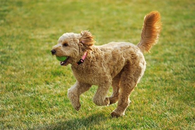 Goldendoodle dog speelt fetch with ball