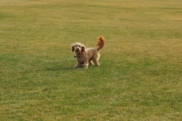 Goldendoodle-hond in het park