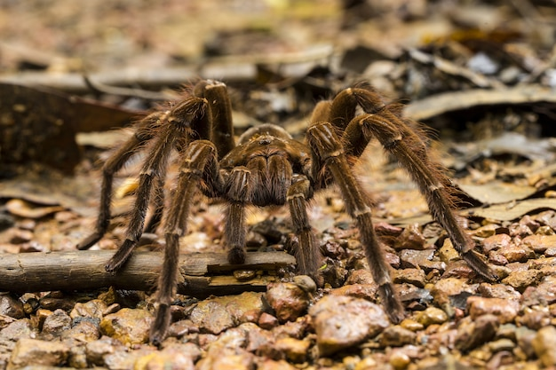 Goliath vogeletende spin, theraphosa blondi