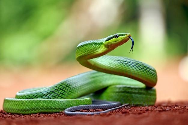 Gonyosoma oxycephalum, groene rattenslang op de grond