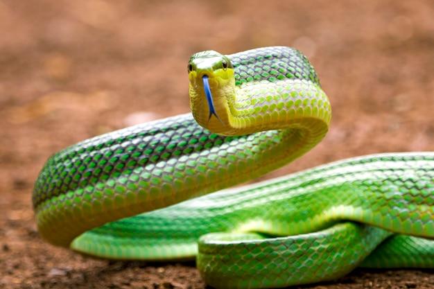 Gonyosoma-slang op de grond