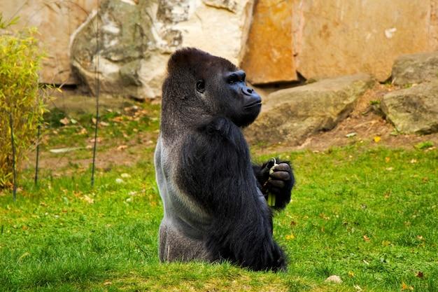 Gorilla in de dierentuin, dieren in het wild, zoogdier op het groene gras