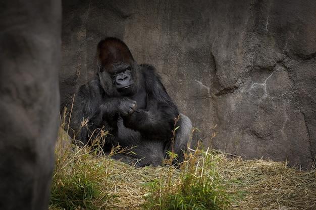 Gorilla op zoek