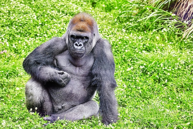 Gorilla wisdom in zijn natuurlijke habitat in het wild