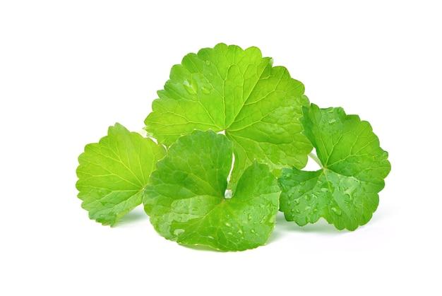 Gotu kola bladeren met waterdruppels geïsoleerd op een witte ondergrond