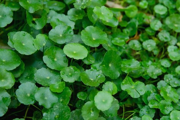 Gotukola, centella asiatica, aziatische waternavel, indische waternavelblad groene achtergrond