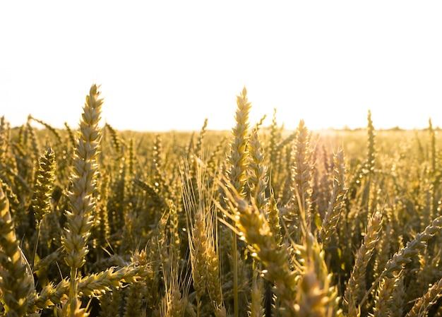 Gouden aartjes in een veld onder de stralen van de ondergaande zon.