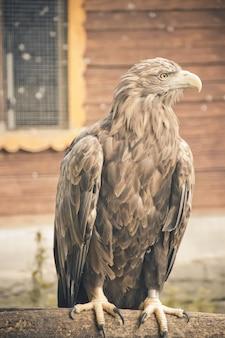 Gouden adelaar in de dierentuin