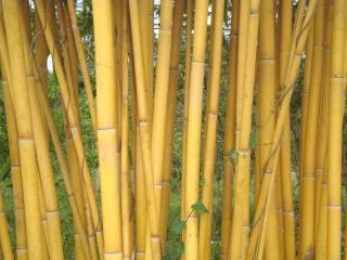 Gouden bamboe