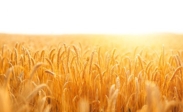 Gouden banner van rijpende oren van tarweveld bij zonsondergang.