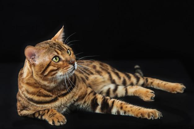 Gouden bengaalse kat op zwart
