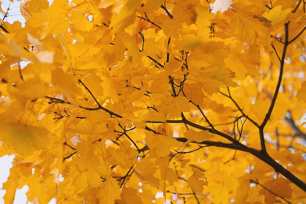 Gouden bladeren op zonsondergangachtergrond.