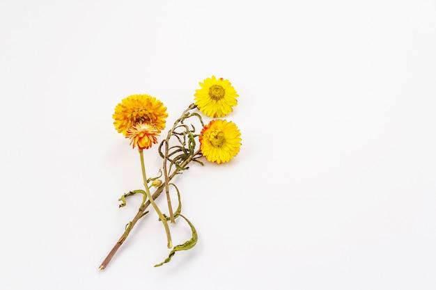 Gouden eeuwige droge bloem die op witte achtergrond wordt geïsoleerd. gele xerochrysum bracteatum, droge stengel en bladeren