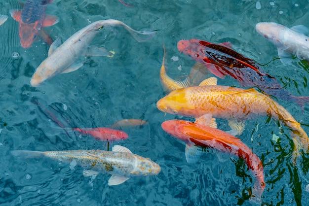 Gouden en rode keizerlijke vis in water