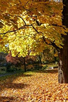 Gouden esdoorn bladeren verlicht door de zon in het herfst stadspark.