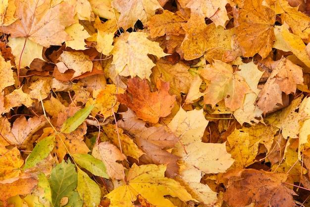 Gouden esdoorn gevallen bladeren achtergrond