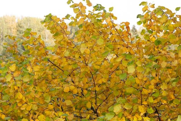 Gouden esdoornbladeren tegen een wazige goudbruine achtergrond warme en zonnige herfstdag