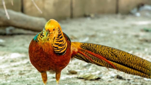 Gouden fazant close-up