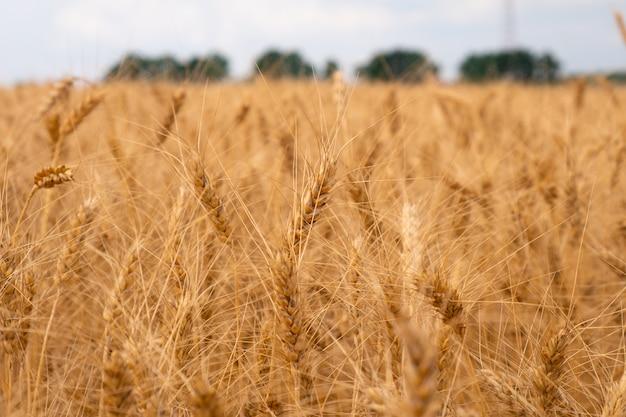 Gouden gedroogde rijpe tarwe. korenaren.