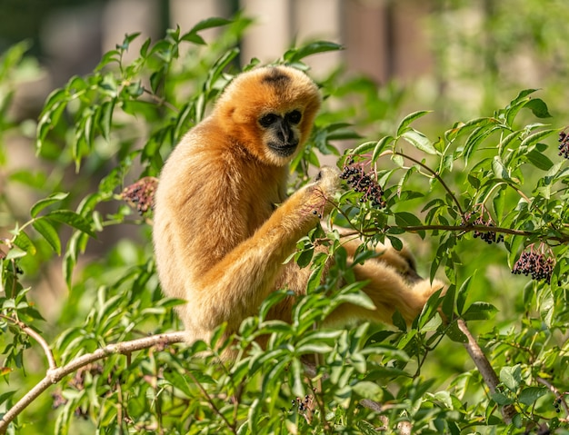 Gouden gibbon zittend op brang proberen vlierbes