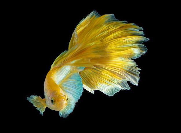 Gouden halfmoon betta-vis in het donker