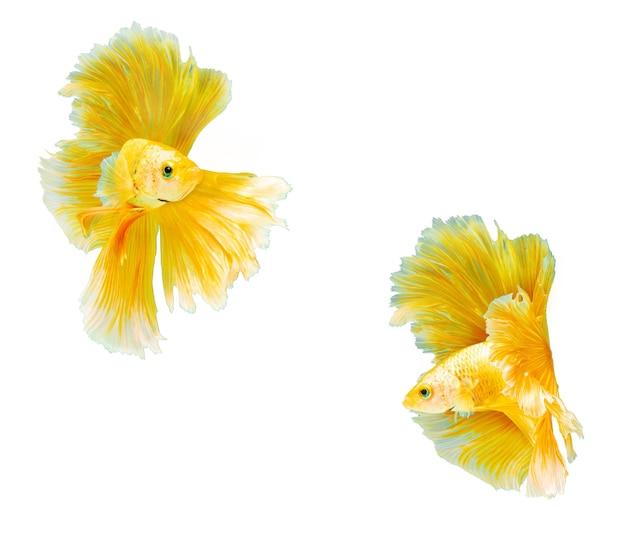 Gouden halfmoon betta-vissen op isoleren witte achtergrond.