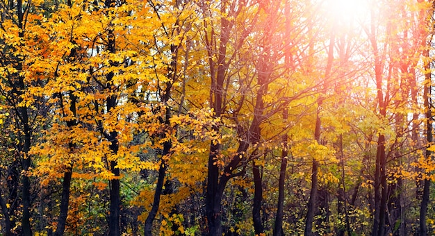 Gouden herfst. bos met gele bomen bij zonsondergang in warme herfsttinten