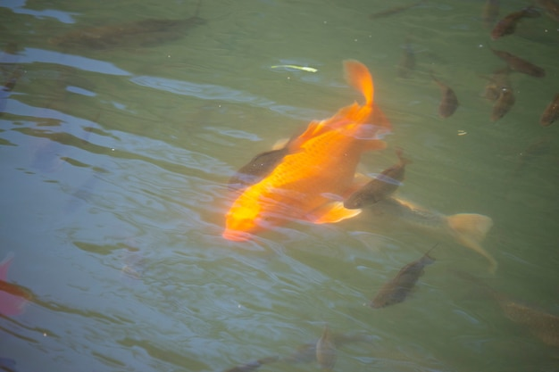 Gouden karpers en koivissen in de vijver witte en rode karpers in de vijver, voorbereiding om te vissen, bovenaanzicht