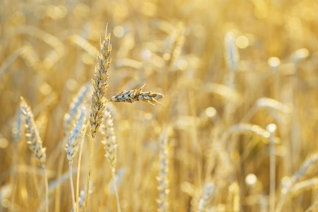 Gouden korenaren in warm zonlicht. tarweveld in zonsondergang licht. herfst oogst van graan gewassen. landelijk landschap. selectieve aandacht.