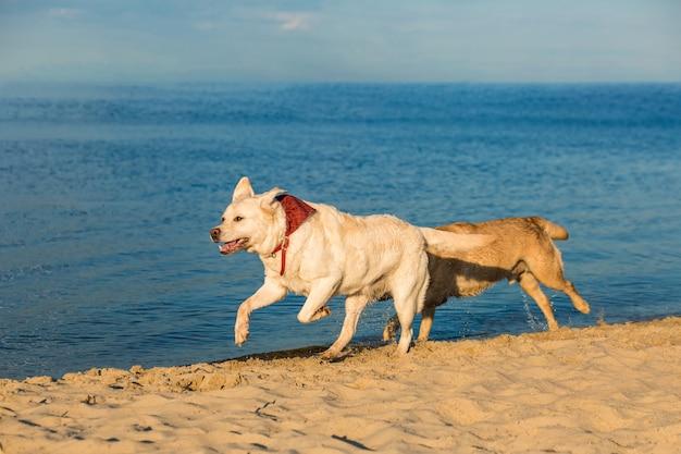 Gouden labrador retrievers die plezier hebben langs het strand rennen. twee labradors, geel en wit, rennen langs het zand naast de rivier