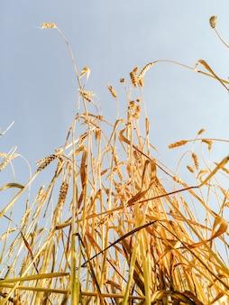 Gouden oren van tarwe in het veld