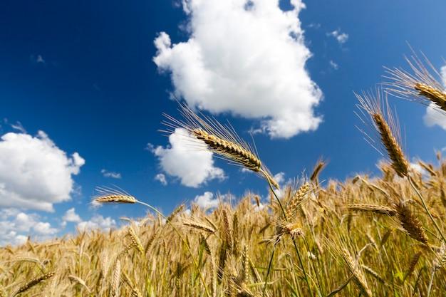Gouden oren van tarwe tegen de blauwe hemel op een bewolkte dag. close-up in de zomer