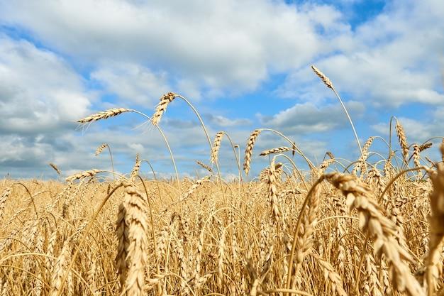 Gouden oren van tarwe, veld met tarwe met bewolkte hemel.
