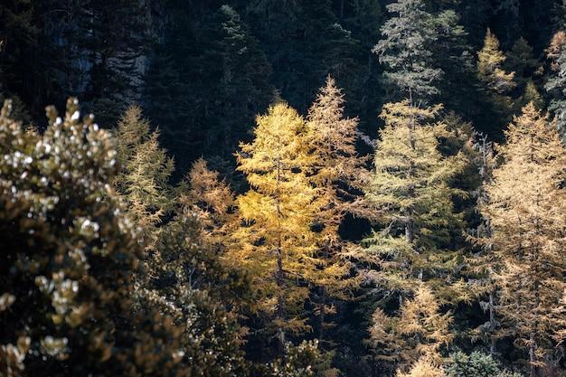 Gouden pijnboom in de herfst diep bos