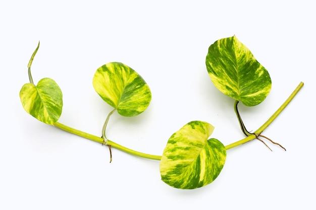 Gouden pothos of duivels klimop bladeren op witte achtergrond.