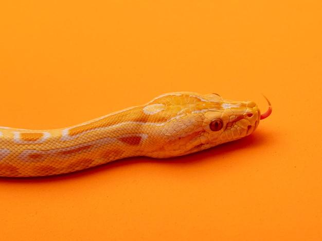 Gouden python, netpython (python reticulatus).