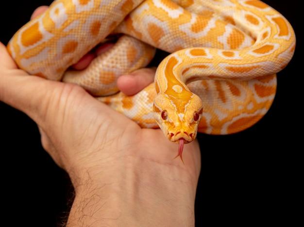 Gouden python, netvormige python (python reticulatus).