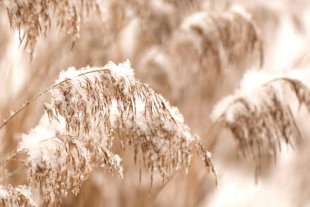 Gouden rietgras in de sneeuw, pampagras.