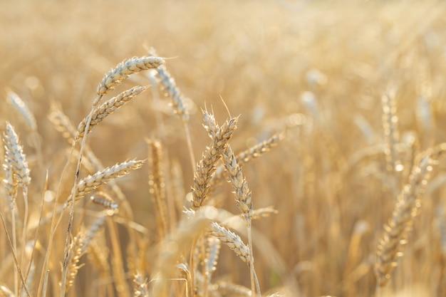 Gouden rijpe tarwe op veld in stralen van zonsondergang