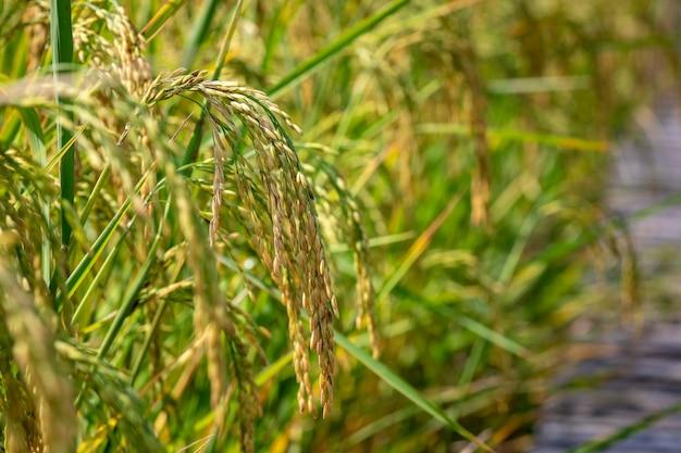 Gouden rijst rauw in landbouwkwekerij dicht tot vleknadrukgebied