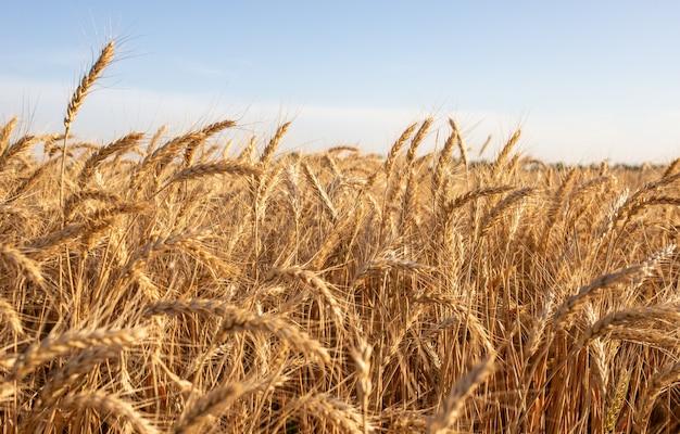 Gouden rogge veld op het platteland bij zonsondergang