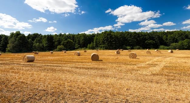 Gouden stro na het oogsten van tarwekorrel natuur en landbouwactiviteiten in de zomer
