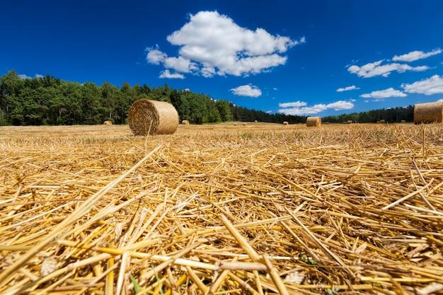 Gouden stro na het oogsten van tarwekorrel