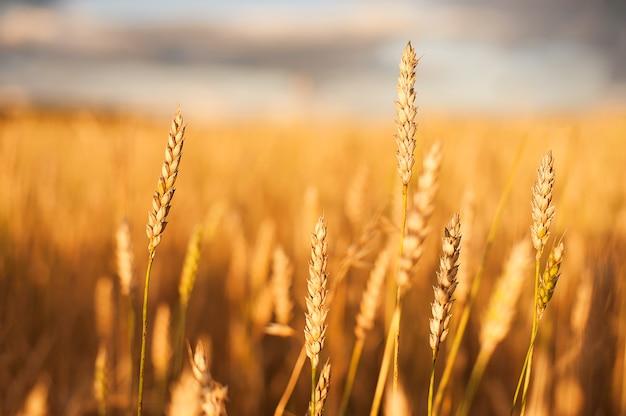 Gouden tarwe flied bij zonsondergang, landelijk landschap.