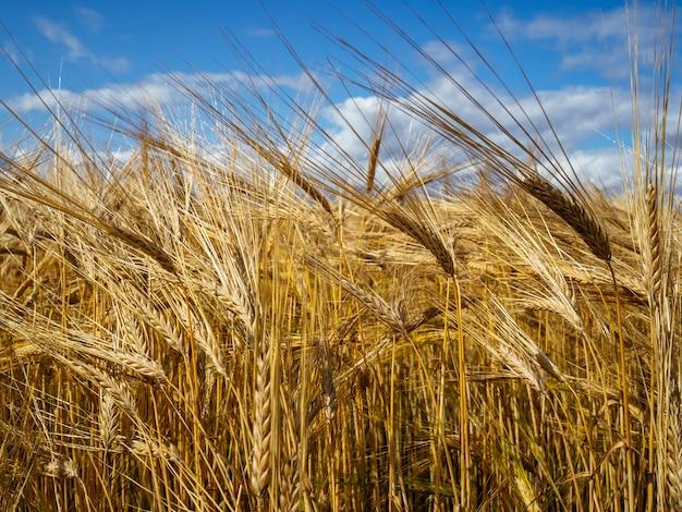 Gouden tarwe in het veld en de blauwe hemel