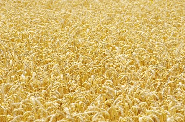 Gouden tarwe veld achtergrond