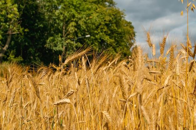 Gouden tarwe veld textuur achtergrond oogst concept