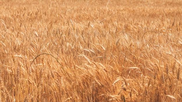 Gouden tarweaartjes op het veld