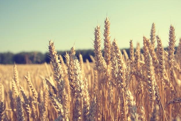 Gouden tarweveld en blauwe hemel. tarwe, rogge, granen veld zonnige dag, banner met ruimte voor tekst, achtergrond achtergrond voor publicaties